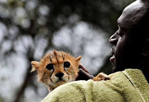 Cheetah-Baby-With-Human (19-50)
