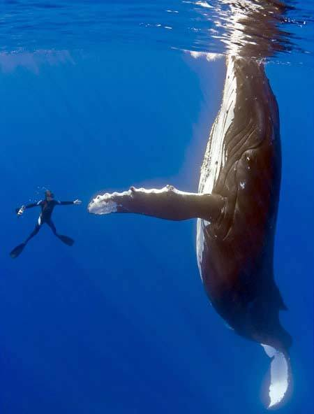 Diver-Looking-Too-Little-Infront-Of-Whale (19-50)