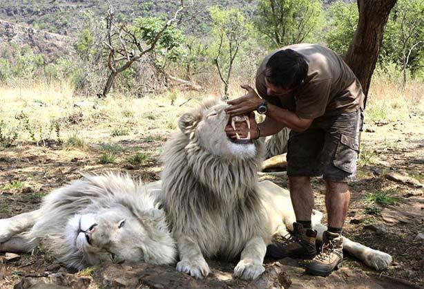 Man-Watching-White-Lion-Canines (19-50)